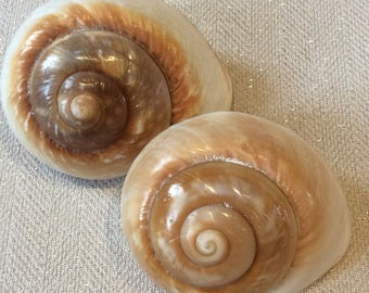 2 very large snail shells