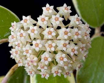 Hoya VERTICILLATA 'ALBOMARGINATA' -  Live Succulent Plant - Rooted Plant