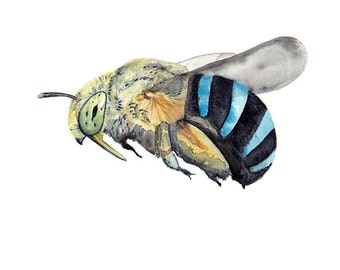 Blue Banded Bee Art Print, Watercolour Bee, Flying Bees Painting, Nature Study, Insect Illustration, Australian Native, Honey Lovers Gift
