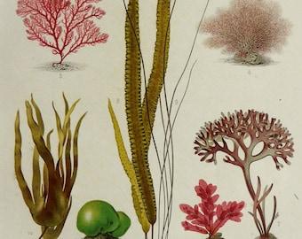 1882 Antique lithograph of ALGAE, different species. Seaweed. Brown Alga. Red Alga. Sea Life. 135 years old gorgeous print.