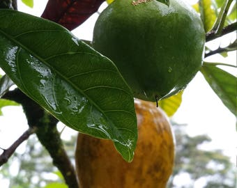 Canistel Yellow Sapote Egg Fruit Pouteria Campechiana Plant Tree Seedling FROM HAWAII
