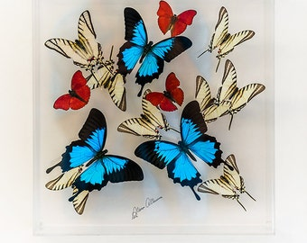 12 x 12 x 3 inches deep design with Blue Ulysses Butterflies and Zebra Swallow Tail and Red Sangarias butterflies.