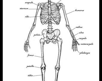 The Human Skeleton Greetings Card / Medical Diagram / Anatomy / Bones