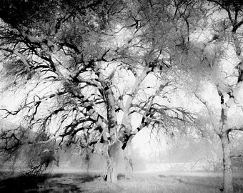 Ghost Trees, Original Photograph, 7Lx5W
