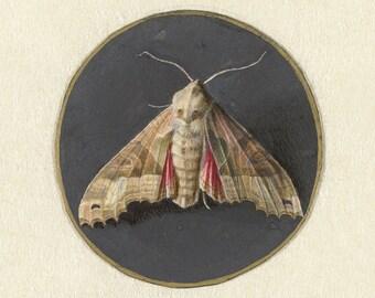 Jan Augustin van der Goes: Owlet Moth. Fine Art Print/Poster. (004067)