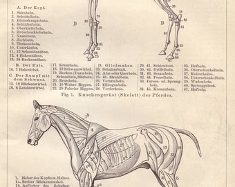 1895 horse anatomy print - Equine print, horse skeleton, vintage veterinarian wall decor - 122 years old antique image illustration (C323)
