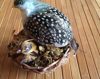 Partridge Birds in Nest