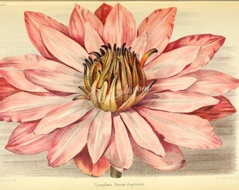 flowers-29069 - nymphaea mariae lagrangei Tropical Night-Blooming Water Lily Waterlily Marie Lagrange waterlily printable vintage picture