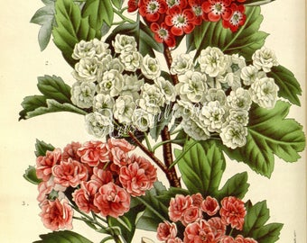 flowers-12624 - crataegus oxyacantha Hawthorn bouquet white red pink branch digital instant download ancient book page picture image paper