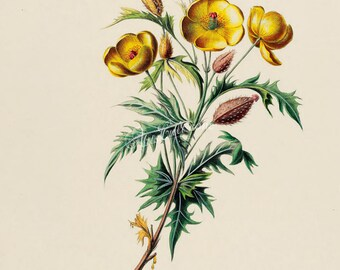 flowers-18078 - Argemone mexicana, Mexican poppy, prickly flowering thistle, cardo or cardosanto, vintage illustration picture image digital