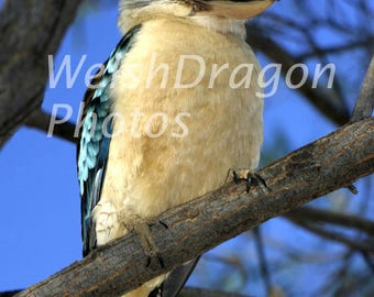 Bird Photography, Kookaburra, Digital Photography Download, Australian Tree Kingfisher, Travel Photography, Nature Photography