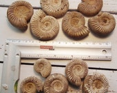 lot of  11 ammonites, my parents  brought them from a trip, I don't know where. For collector or  jewelry maker