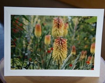 Photo Greeting Card   Floral Greeting Card   Photo Note Card   Enlargements   Blank Photo Card   Red Hot Poker Flower   Sissinghurst