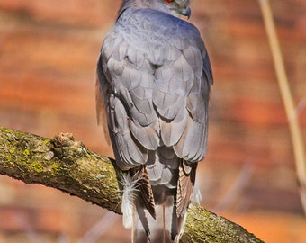 Coopers Hawk glaring