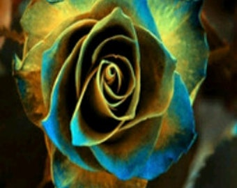 Grow Your Own Golden Blue Roses 20 Organic Rose Seeds