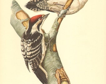 1953 Lesser Spotted Woodpecker - Dryobates minor Vintage Offset Lithograph