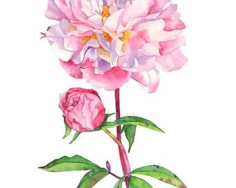 Peony print of watercolour painting, Peony watercolor painting print, P16416, 5 by 7 size, Peonies watercolor print, botanical art