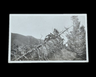 Strange Antique Photo of Man Lounging on a Tree - 1920's Original Photograph - Quirky / Unusual / Bizarre