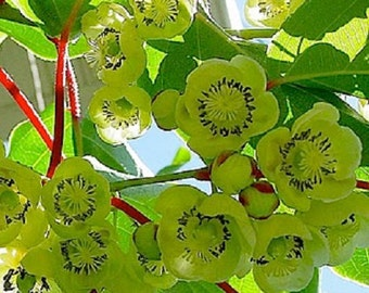 Fuzzy Male Kiwi, Actinidia deliciosa, Cold Hardy Kiwi For Your Home And Garden