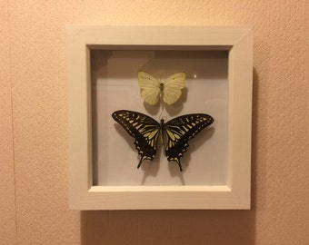 framed & mounted statira sulphur (Papilio zelicaon) and Anise Swallowtail (Papilio zelicaon) butterflies in white box frame
