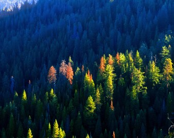 First Light in Wawona by Catherine Roché, Yosemite Sunrise Photography, Wilderness Photography, Pine Tree Forest Photography, Fine Art