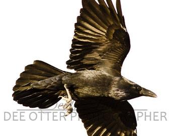 Soaring Sun Raven Photo: Common Raven