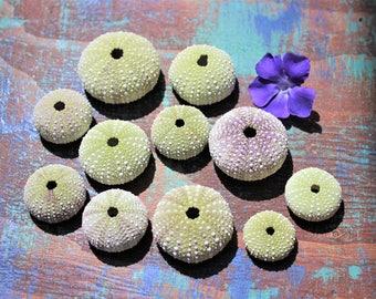 Sea Urchin Lot Of 11 Sea Shell Collector Wedding Decor Bulk Sea Shells Ocean Beach Decor