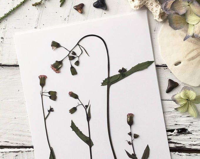 Real Pressed Flowers: Florida Tasselflower > Natural Florida Wildflower > Flora's Paintbrush > Dye Free - Biodegradable
