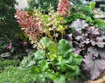 Heuchera, Sweet Tart, Coralbells for Miniature Garden, Fairy Garden