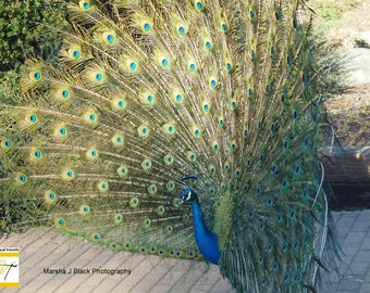 """Peacock Photography,""""Peacock Plume at the Los Angeles Arboretum"""" Print, Peacock Decor, Peacock Wall Art, Peacock Lovers Gift, Peacock Cards"""