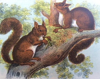 1896 Squirrel Antique Print, Mounted, Matted & Ready to Frame