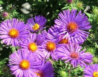 New England Aster (Symphyotichum Novae-angliae-Purple) - perennial plants - live plants - plants for sun - purple flowers