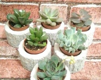 20 Bark Effect Rustic  Succulent Wedding Favours/Corporate Gift