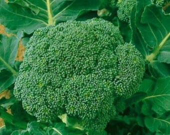 6 Plants - Waltham 29 Broccoli - Organic Heirloom