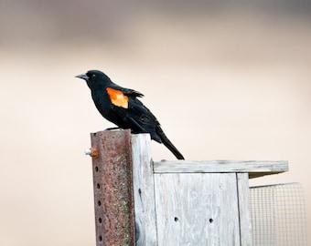 DIGITAL DOWNLOAD: Red-Winged Blackbird