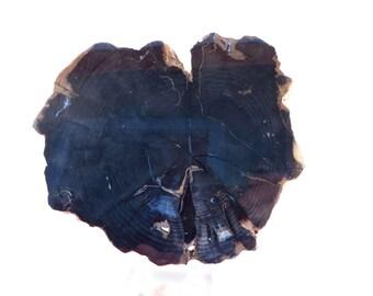 Stunning Complete Bark Round Polished Slab of Petrified Wood Oregon USA