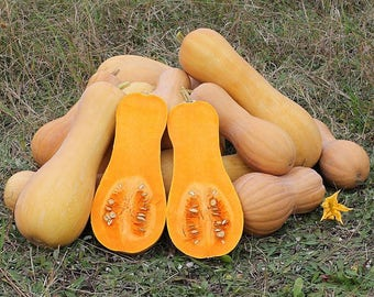 Butternut squash seeds 15