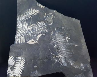 Large & Beautiful Alethopteris White Fern Leaf Fossil Plate PA 077