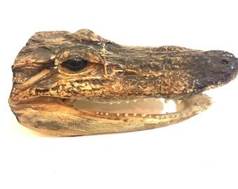 Vintage small real alligator head- taxidermy alligator reptile