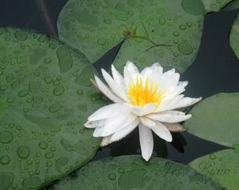 Lily Pad print - flower photography - floral photograph