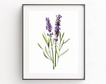 Lavender print, Lavender illustration, botanical wall art, Lavender Poster, botanical print, Lavender vintage botanical poster