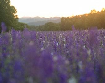 Purple Field Sunset Horizontal