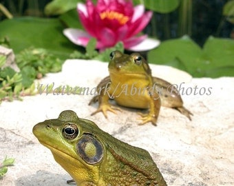 Green Frogs With Lily Flower 8x10 #4287_10_2004