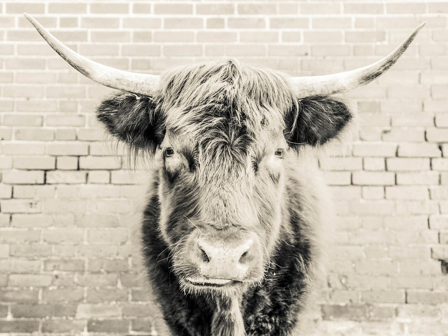 the bull 2 bull print black and white cow print photographic