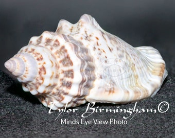 Instant Digital Download Hermit Crab Sea Shell Print Still Life Shell Fine Wall Art Photography