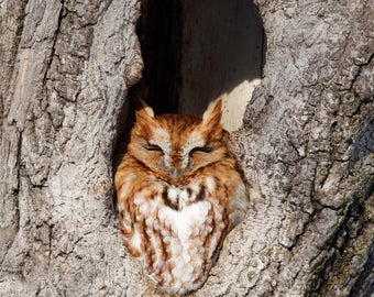 Eastern Screech Owl In Peanut (unframed matted print)