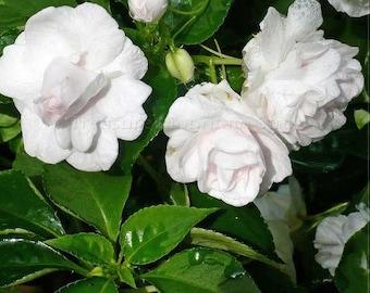 28 Seeds Gardenia Jasminoides Cape Jasmine Heirloom Seeds strong fragrant danh-danh jasmin