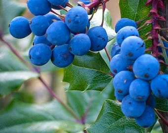 Oregon Grape Holly 2 Gallon