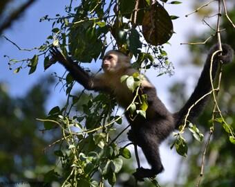 Capuchin Monkey - Canvas, Ready to Hang - Nature Wildlife Primate Animal Black White Green Jungle Photo