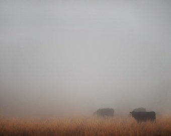 Cows in Fog Photograph,  Nature Photography,  Prints and Canvas available, Home Decor, Art, Large Art,
